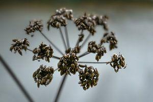 Tête de livèche (Levisticum officinale) en automne ou en hiver sur un fond gris, concept wabi sabi,