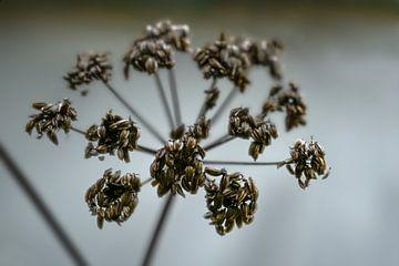 Brauner Samenkopf von Liebstöckel (Levisticum officinale) im Herbst oder Winter vor grauem Hintergru