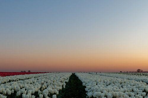 Tulpen wandeling.