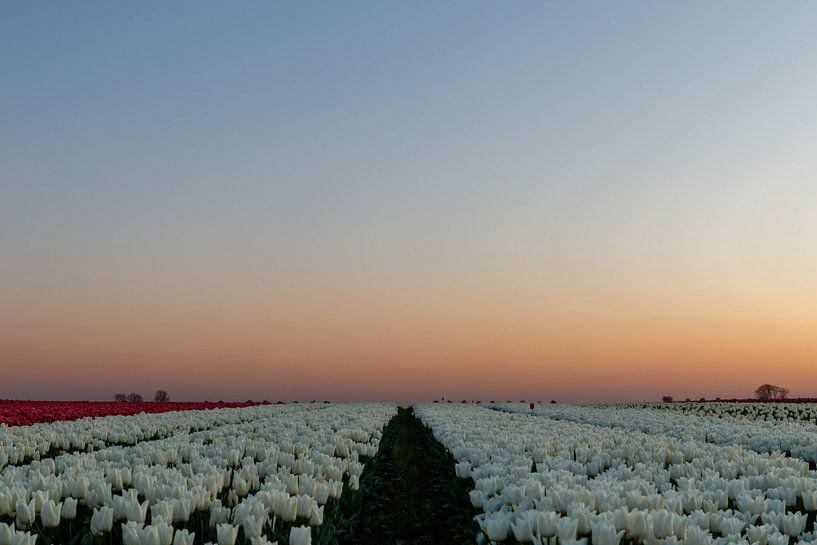 Tulpen wandeling. van Anjo ten Kate