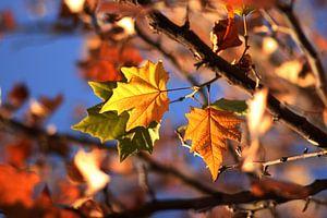Three Color Leaves