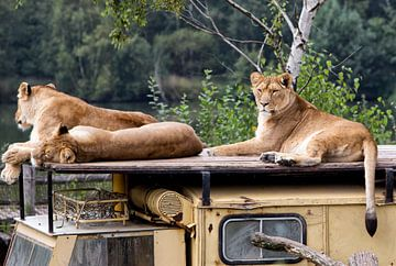 Löwen - Löwen von Christine Vesters Fotografie