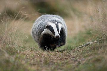 European Badger ( Meles meles ) running along a badger's path van