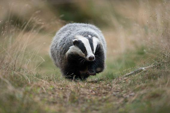 European Badger ( Meles meles ) running along a badger's path