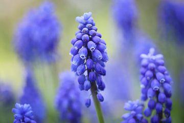 Blauwe druifjes van Isabel van Veen