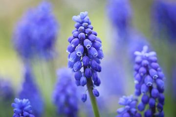 Blaue Trauben von Isabel van Veen