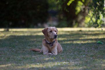 Hond zit in gras van Tobias Toennesmann