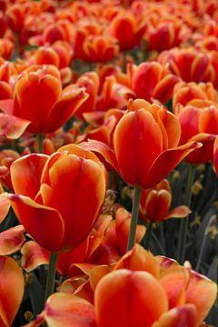 Oranje tulpen in de Keukenhof von Daniëlle van der meule