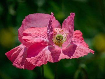 Roze klaproos van Victor Droogh
