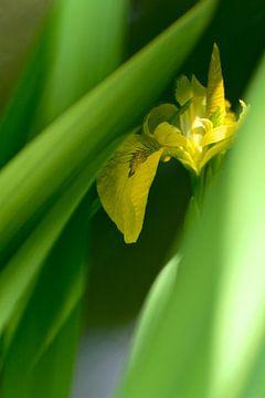 Iris Blume von Marianna Pobedimova