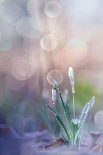 Snowdrop drop... van Bob Daalder
