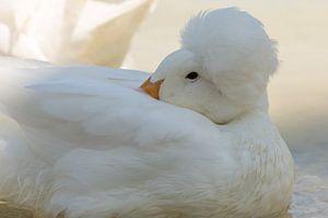 Witte eend met kuif. van