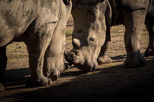 Nashörner kämpfen von Marcel Alsemgeest