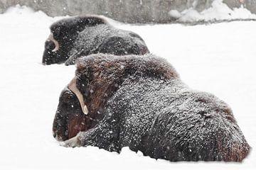 Krachtige harige muskusossen onder zware sneeuwval op een achtergrond van witte sneeuw. van Michael Semenov