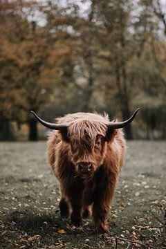 Schotse hooglander van Daniel Houben