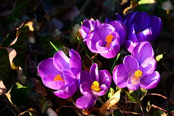 Frühlingsboten von Gisela Scheffbuch