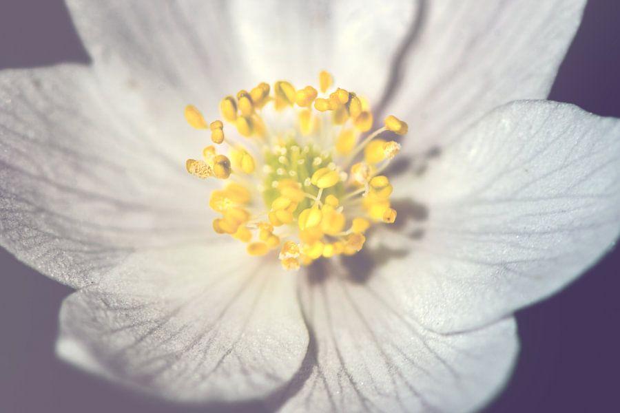Witte anemoon - dichtbij van Alessia Peviani