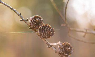 spinnendraad naar de dennenappel van Tania Perneel