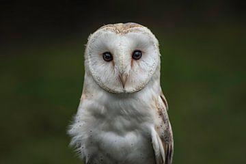 Screech owl sur Leon Doorn
