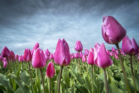 Tulpenveld van Gonnie van de Schans