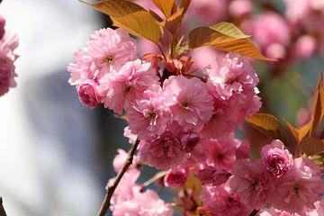 Roze lentebloesem. van Dirkje Terwijn