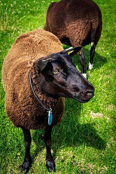 Knappe bruine schapen 2 van Urban Photo Lab