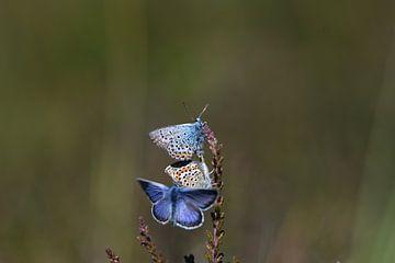 3 vlinders von A. Bles