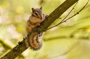 Siberische grondeekhoorn zit op een tak van de boom