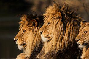 Der König der Löwen von Ron van Zoomeren