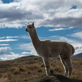 Alpaca in Nieuw Zeeland van Tessa Louwerens