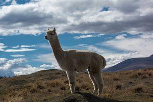 Alpaca in Nieuw Zeeland