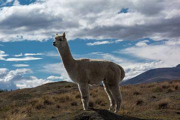 Alpaca in Nieuw Zeeland van
