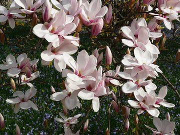 Magnolienblüten im Frühling - blühender Tulpenbaum -(Magnolien) von Barbara Hilmer-Schroeer