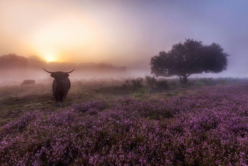 Sonnenaufgang an der Westerheide Hilversum mit ihren schottischen Highlandern von Dennisart Fotografie