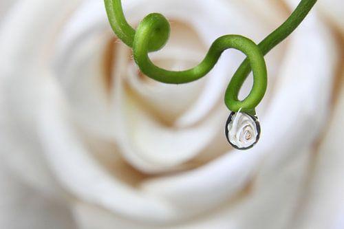 Witte roos gevangen in druppel van Inge van den Brande