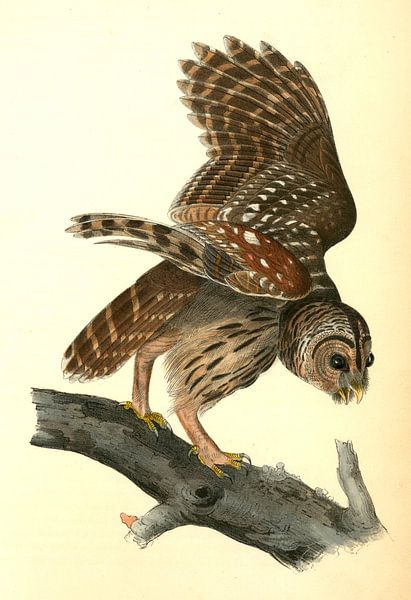 Uil, Barred Owl., Audubon, John James, 1785-1851 van Liszt Collection