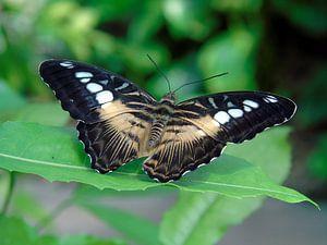 Parthenos sylvia ( Tropische vlinders ) Collectie 2018 van Jan van Bruggen