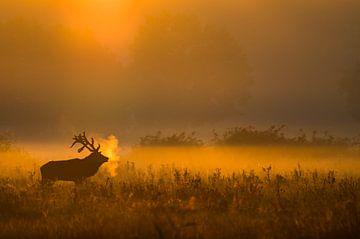 Edelhert bij ochtendgloren van