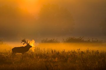 Edelhert bij ochtendgloren sur