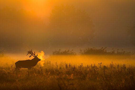 Edelhert bij ochtendgloren