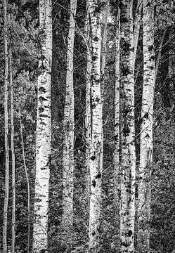 Birken im Wald, Kanada von Rietje Bulthuis