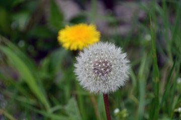 Löwenzahn und Fluffy Ball (horizontal) von FotoGraaG Hanneke