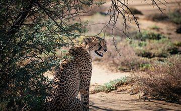 Cheetah - Südafrika von Joey van Megchelen