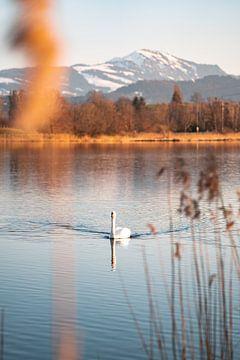 Schwan am Sulzberger See zum Abend mit dem Grünten im Hintergrund von Leo Schindzielorz