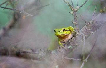 Tree frog sur Menno Schaefer