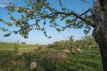 Schapen tussen fruitboomgaard von Moetwil en van Dijk - Fotografie