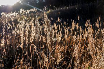 Struisriet in laagstaande zon van Suzanne van Saase