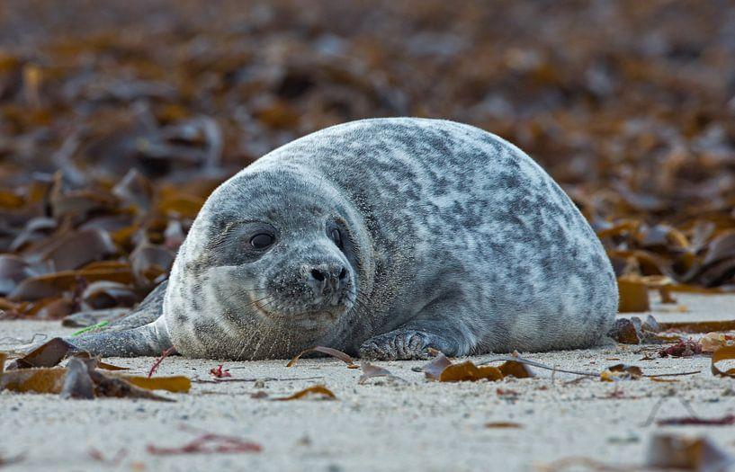 Jong zeehond van Menno Schaefer