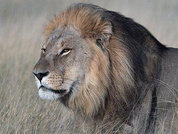 lion sur Marc Van den Broeck