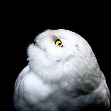 Winterwitte sneeuwuil van Patrik Lovrin